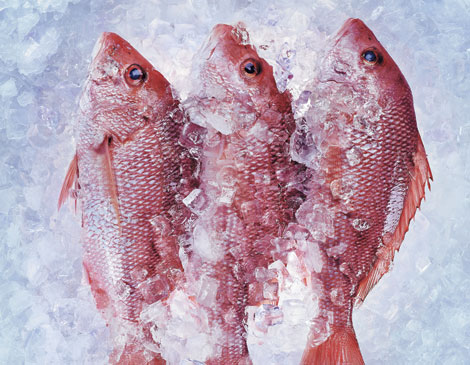 Euclid Fish Snapper
