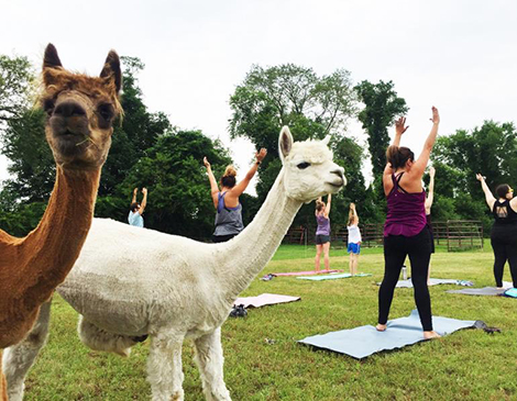 Alpaca Yoga: Family Friendly Class on the Farm