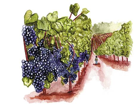 Maintaining vineyards