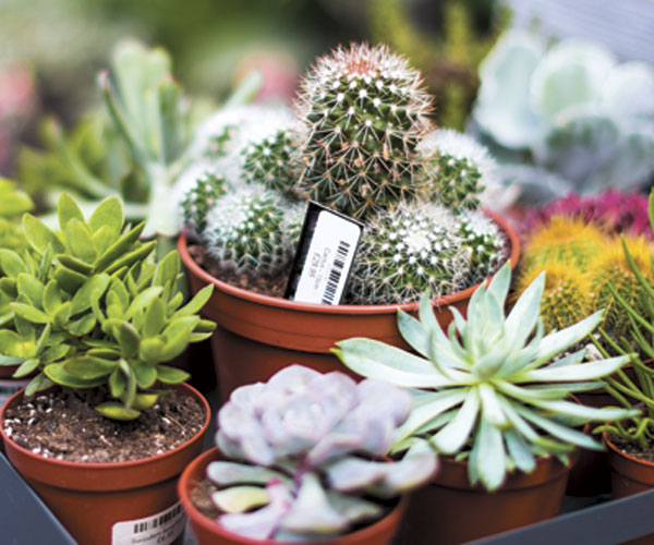 Five Tips For Suffering Succulents