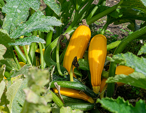Make The Most Of Your Summer Harvest With Our Guide To Squash