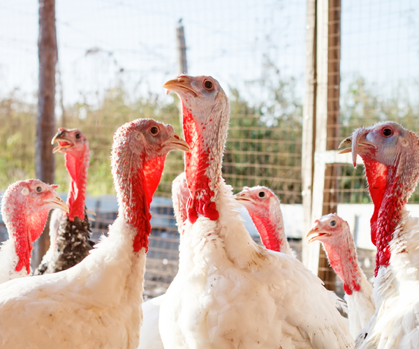 Find Your Turkey At These Three Local Farms